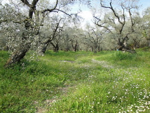 Greek olive trees