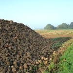 The sugar beet, lovingly nicknamed 'the unbeatable beet' by sugar company Cosun
