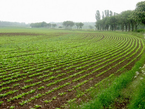 Sugar beet farm