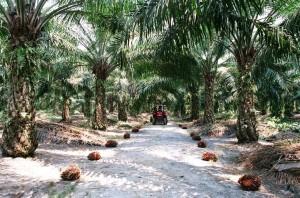 Oliepalmplantage