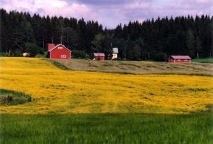 Koolzaadveld in Finland