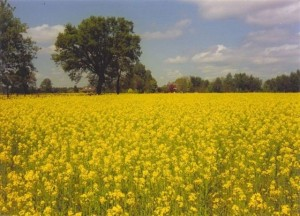 Rapeseed fields near Boijl