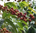 First fair-trade and climate-neutral coffee on the market