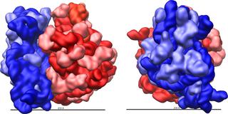 Ribosome shape E.coli