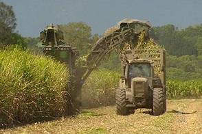 Oogst van suikerriet