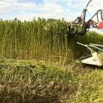 Hemp harvesting
