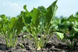 Sugar beet in the biobased economy