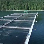 Algae would be the proper feed in fish farms, says Prof. Kevin Flynn.