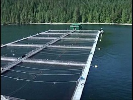 Algae for fish farms