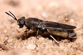 Black soldier fly eats waste