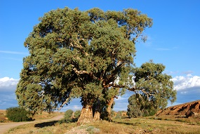 Eucalyptus cellulosic fibres