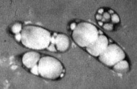 PHA producing bacteria