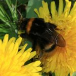 The bumble bee is among the species in decline in many countries.