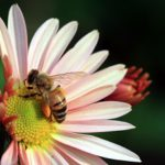 Honey bee colony collapse has been a major problem to beekeepers.