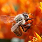 Honey bee. Photo: Paul Stein