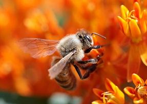Honey bee Photo Paul Stein
