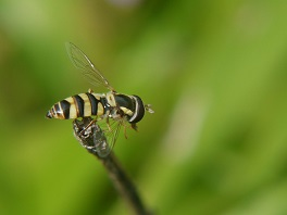 Syrphidae hoverfly neonicotinoids