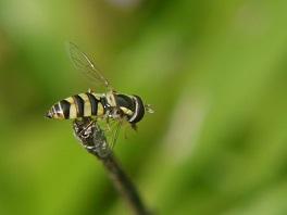 Syrphidae hoverfly neonicotinoids