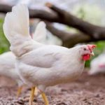 Kipster, a new chapter in sustainable chicken farming