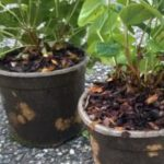 Biodegradable Solanyl plant pots offer advantages in horticulture.