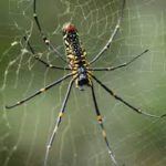 Nephila (Giant Golden Orb weaver) in het regenwoud van Agumbe, Karnataka, India. Foto: Wikimedia Commons.