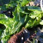 Ulva Lactuca (sea lettuce) is one of the species much researched.