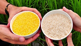 Golden rice genetically modified food