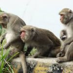 Qiang Sun en zijn collega's van het Instituut van Neurowetenschappen van de Chinese Academie van Wetenschappen in Sjanghai hebben makaakaapjes als deze gekloond. Twee, genaamd Zhong Zhong en Hua Hua, werden geboren als gezonde dieren.