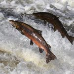 Fish like salmon used to be the primary source of omega-3 fatty acids to the human diet.