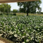 Tobacco Plants have been genetically modified in order to produce pheromones for the protection of other crops. Photo: Wkimedia Commons.