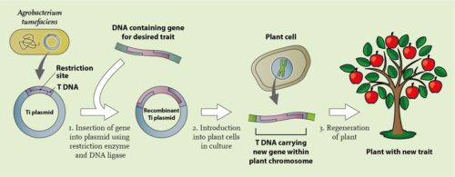 Plant gene technology