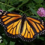 The plight of the monarch butterfly has been widely reported. But researchers emphasize that we need to pay attention to less charismatic insects as well. Photo: Wikimedia Commons.