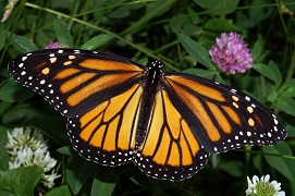 monarch butterfly insects
