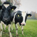 Koeien groeien naar verhouding beter op geperst gras dan op vers gras.