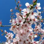 Almond blossom Photo: Wikimedia Commons.