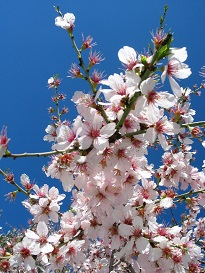 almond blossom corporate sustainabilitty