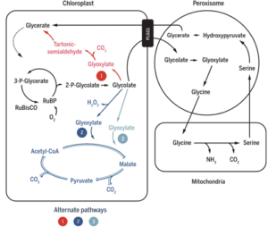 Alternative photorespiratory pathways