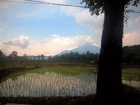 BIO genetisch gemodificeerde rijstplanten
