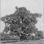 American chestnut tree. Photograph taken in black and white in 1914. Source: Wikimedia Commons.