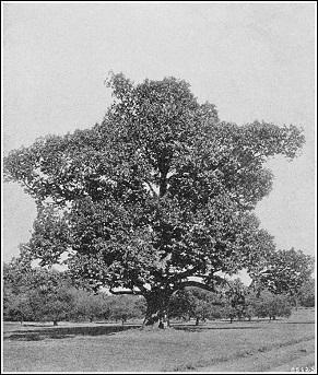 American chestnut tree 1914