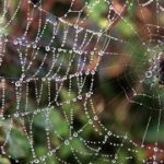 Much research has been done into spider silk as a material with extraordinary properties. Photo: Wikimedia Commons.