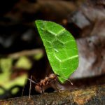 Leafcutter ant carrying leaf. Photo: Pixaby.