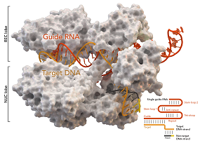 Cas-9 enzyme nature