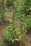 Traditionele Chinese geneeskunde Stemona Sessilifolia