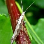 Diamondback moth. Photo: Wikimedia Commons.