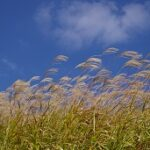 Miscanthus, often planted as an energy crop, is biomass.