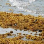 Sargassum on a beach. Photo: Filo gèn', Wikimedia Commons.