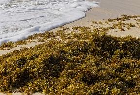 Sargassum on a beach