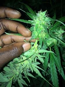 marihuanabloemen